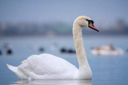 Mute swan portrait (Cygnus olor) Stock Photo