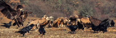 many griffon vultures (Gyps fulvus) and Cinereous vultures (Aegypius monachus).