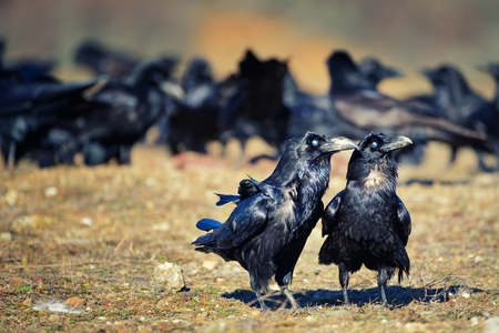 Two ravens (Corvus corax) stand apart from the pack. Stock Photo