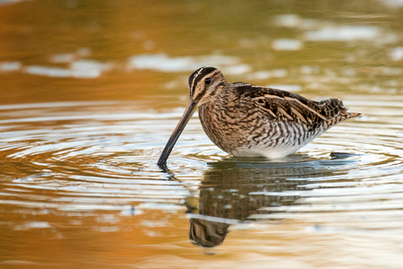 Snipe (Gallinago gallinago) in the water in a beautiful light.