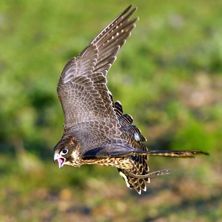 Peregrine Falcon flying Falco peregrinus.