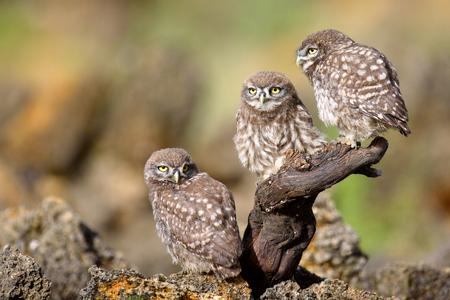 Three little owl (Athene noctua) sitting near the nest on a stick.