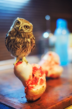 The little owl (Athene noctua) stands on great bone and looks at the camera.