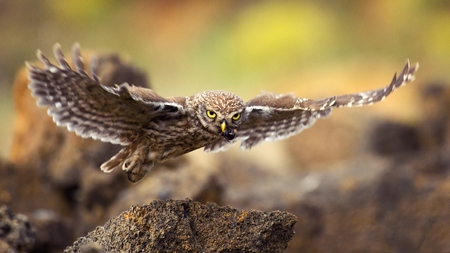 little owl is flying with prey. Stock Photo