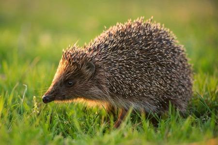 hedgehog in natural habitat in beautiful evening light.