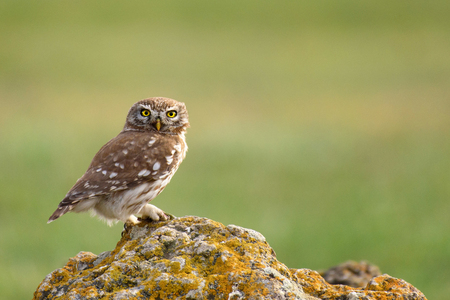 The little owl (Athene noctua) is on the stone on a beautiful background.