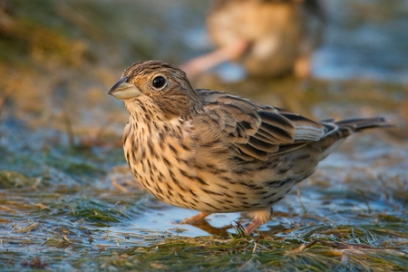 The Corn Bunting is in the water.
