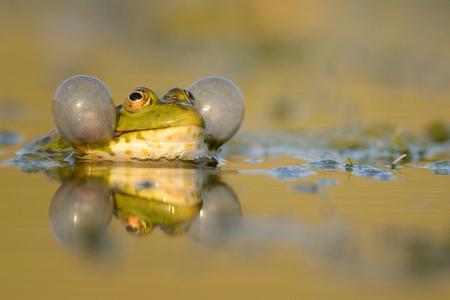 Green Marsh Frog (Pelophylax ridibundus) croaking on a beautiful light.