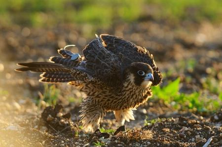 Peregrine Falcon shakes. Falco peregrinus Stock Photo