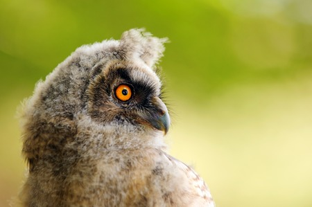 portrait of a juv long-eared owl.