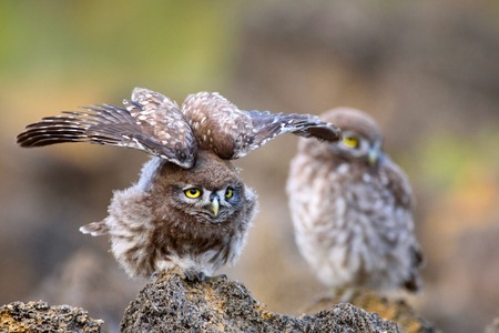 Two little owl (Athene noctua) is on the stone on a beautiful background.