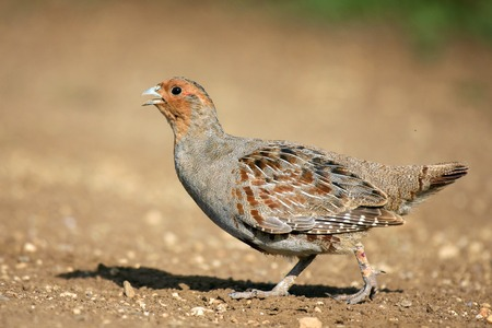 Grey Partridge partridge in a beautiful light. Zdjęcie Seryjne