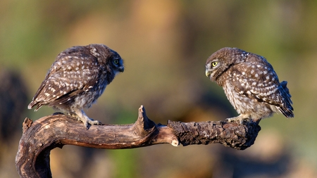 Two little owls (Athene noctua) sitting on a stick on a beautiful background.