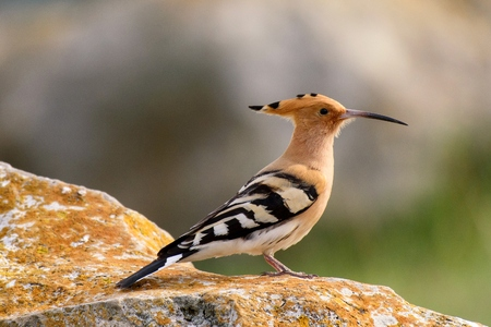 The hoopoe (Upupa epops) stands on rock. Zdjęcie Seryjne