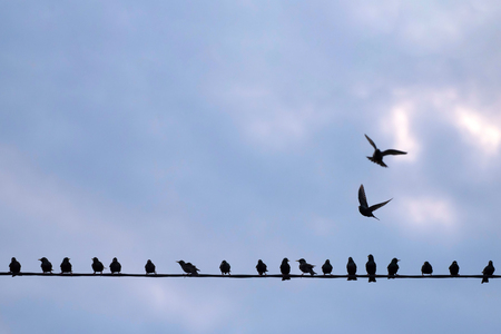 Starlings on electrical line against blue sky. With copy space.