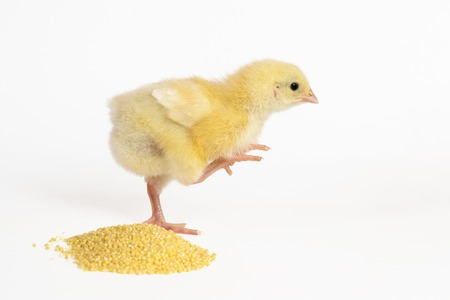 Little chicken with feed isolated on white.