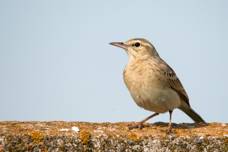 Tawny Pipit (Anthus campestris) sitting on a concrete fence.