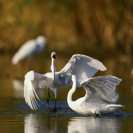 Little egret (Egretta garzetta), two birds mating dance.