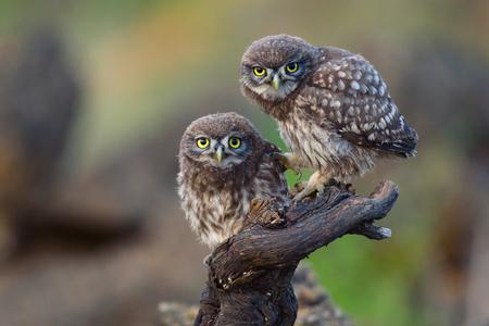 Due giovani gufi si siedono su un bastone e guardano avanti.