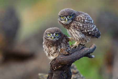 Two young little owls sit on a stick and look forward.