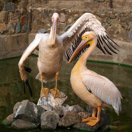 Two Pelican posing at the zoo.