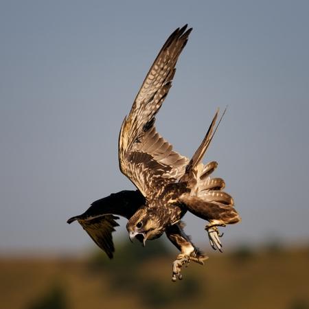 Birds of prey - Saker Falcon (Falco cherrug) in flight.