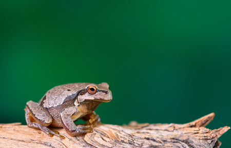 European green tree frog (Hyla arborea formerly Rana arborea) sitting on a branch. Stock Photo