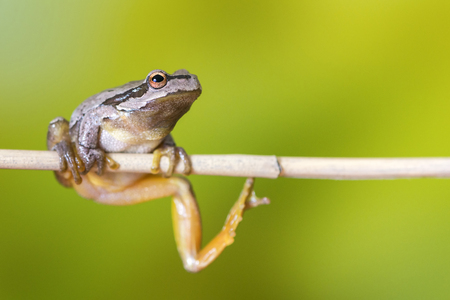 European green tree frog (Hyla arborea formerly Rana arborea) sitting on a branch of reed.