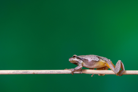 European green tree frog (Hyla arborea formerly Rana arborea) sitting on a branch of reed.