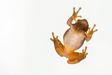European green tree frog (Hyla arborea) isolated on white background. Bottom view. Stock Photo