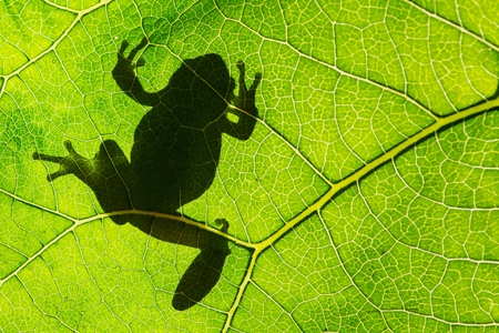 Art view on nature. European green tree frog (Hyla arborea) on leaf in silhouette light.