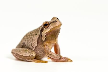 European green tree frog (Hyla arborea) isolated on white background.
