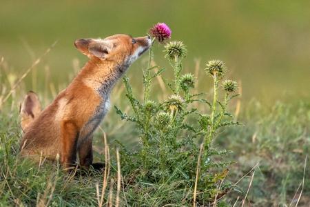 Le petit renard roux près de son trou renifle une fleur rouge.