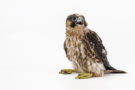 Chick falco peregrine (Falco peregrinus) on white background. 27 days old