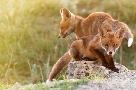 Two Little Red Fox near his hole. Stock Photo