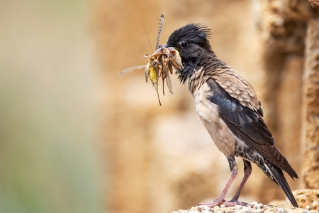 The rosy Starling (Sturnus roseus) sits on a stone with a bunch of grasshoppers in its beak. Imagens