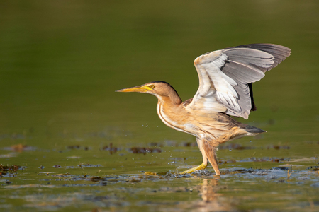 Little bittern (Ixobrychus minutus) stands in the waterwith its wings open.