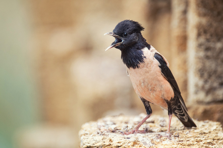 Rosy Starling (Sturnus roseus) stands on a stone with open beak.