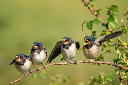 Four nestling barn swallows (Hirundo rustica) waiting for their parents sitting on a branch on a beautiful green background.