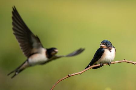 Young Barn swallows (Hirundo rustica) sitting on a beautiful background.