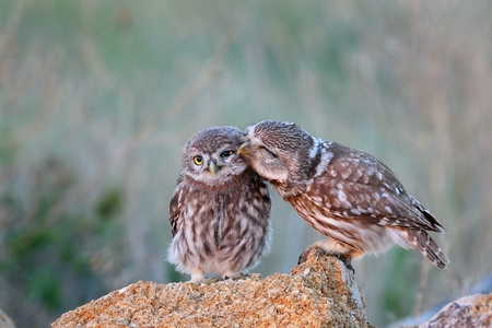 The little owl (Athene noctua) with his chick standing on a stone. Stock Photo