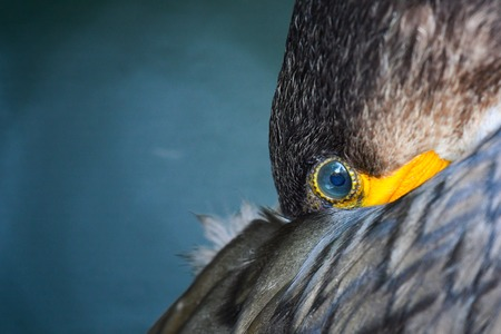 Eye of Great Cormorant (Phalacrocorax carbo). Close up.