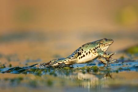 Green frog jump on a beautiful light. Stock Photo
