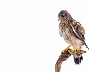 Young Common Kestrel (Falco tinnunculus) isolated on white background.