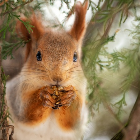 The red squirrel on the tree. Close up.