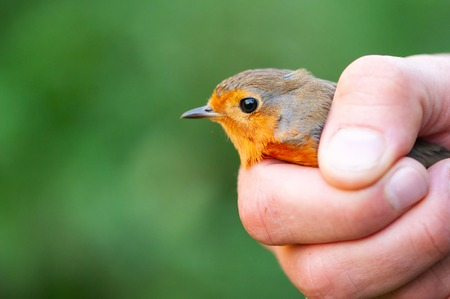 European robin (Erithacus rubecula). Bird in the hands of man.