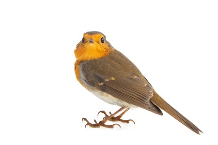 Robin isolated on a white background. European robin (Erithacus rubecula). Stock Photo