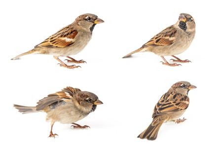 Collage von vier männlichen Haussperling (Passer Domesticus) isoliert auf weißem Hintergrund.