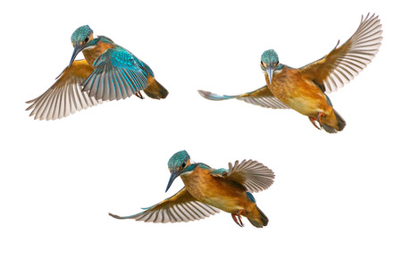 Collage of three Common Kingfisher (Alcedo atthis) in flight isolated on a white background.