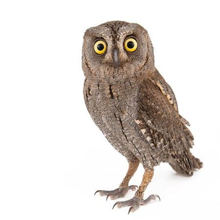 European scops owl (Otus scops) isolated on white background. Stock Photo